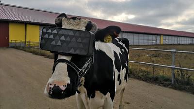 为下奶 KPI 焦虑的奶牛们,悄悄戴起了 VR 眼镜